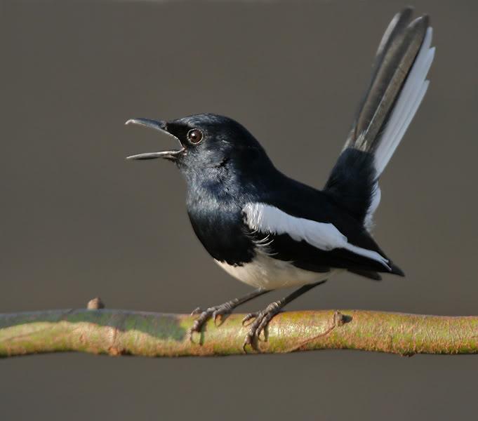 oriental_magpie_robin_copsychus_saularis-_male_calling_in_the_rain_at_kolkata_i_img_3746