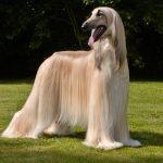 afghan-hound-dog-breed