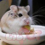 chuot-hamster-robo-mat-nau11