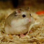 tim-hieu-tu-a-z-cac-kinh-nghiem-khi-bat-dau-nuoi-chuot-hamster-620x413